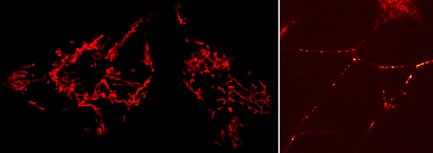 How Mitochondria look