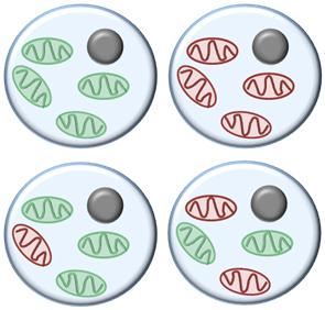 Mitochondria Heteroplasmy Diagram