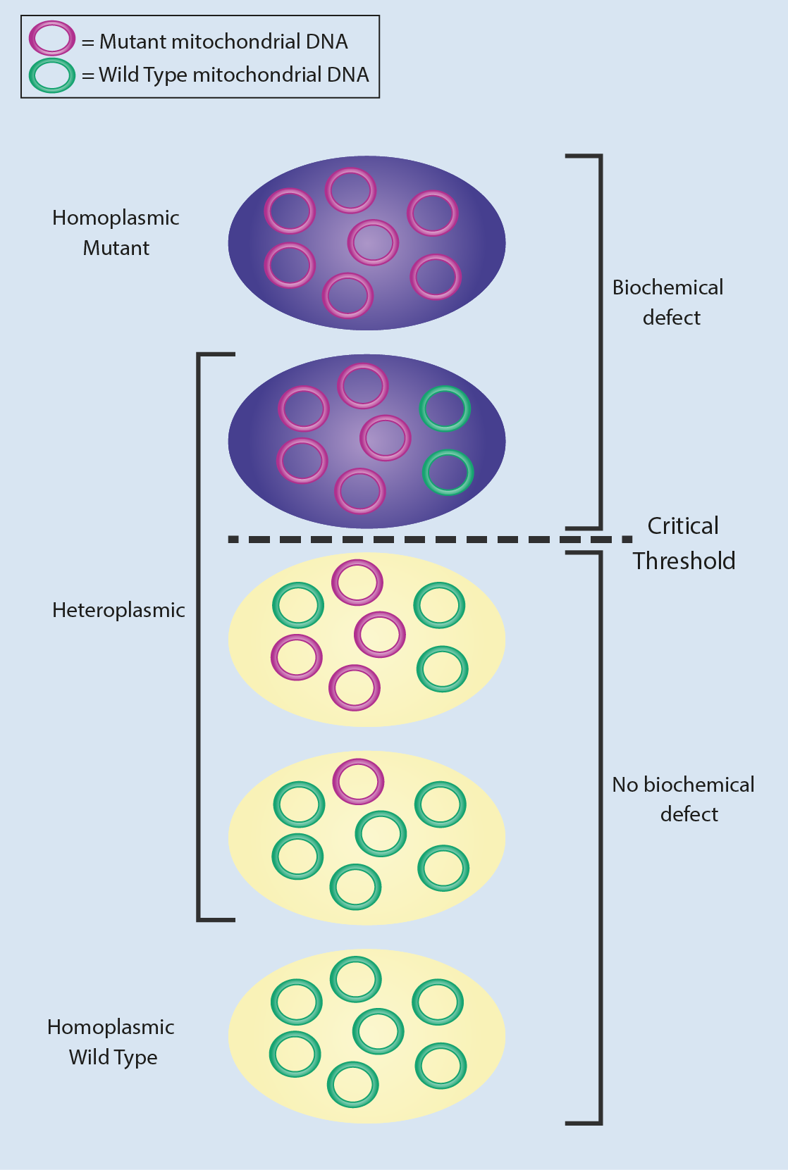 final heteroplasmy