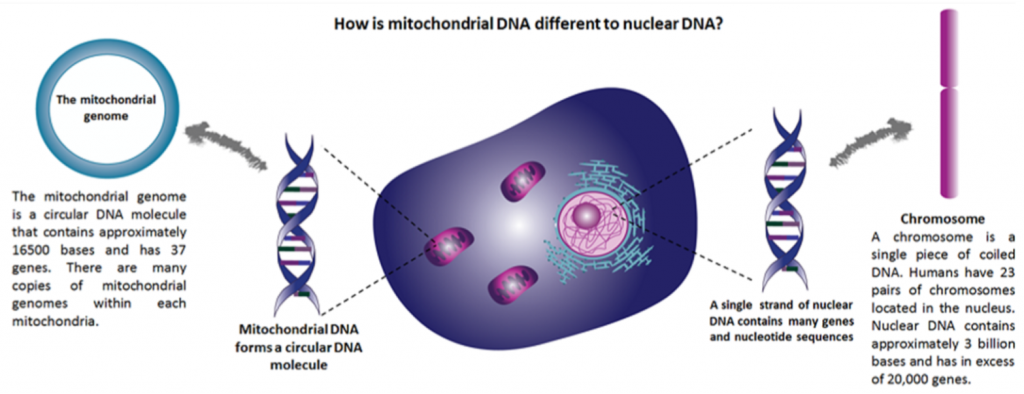 how is mito DNA different